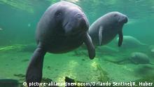 Seekuh im Wasser (picture-alliance/newscom/Orlando Sentinel/R. Huber)