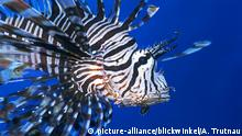 Lionfish swimming (picture-alliance/blickwinkel/A. Trutnau)
