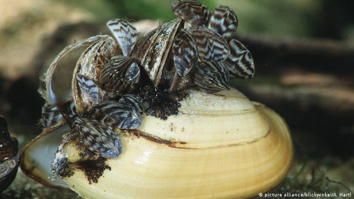 Zebra mussel (picture alliance/blickwinkel/A. Hartl)