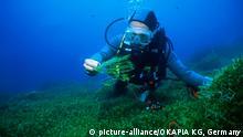 Algen Grünalgen Caulerpa taxifolia green algae Gruppe mit Taucher Unterwasseraufnahme Mittelmeer BESCHÄDIGT Kratzer im Bild  