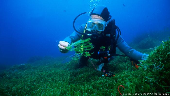 seaweed and diver (picture-alliance/OKAPIA KG, Germany)