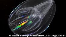 This undated image provided by Brown University via the journal Science in December 2013 shows a Mnemiopsis leidyi, a species of comb jelly known as a sea walnut. A new study published online Thursday, Dec. 12, 2013 in the journal Science says comb jellies, a group of gelatinous marine animals, represent the oldest branch of the animal family tree. (AP Photo/Brown University, Stefan Siebert) |