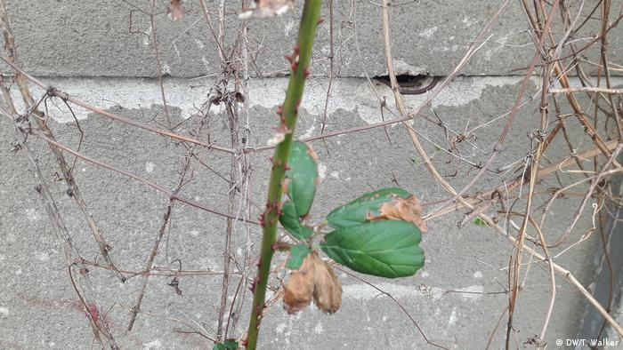 A bramble branch with thorns and a couple of leaves