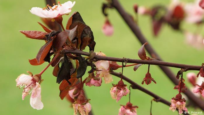 Kirschblüte (R. Primack)