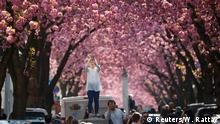 02.04.2017 *** A tourist takes a picture at Heerstrasse flanked by pink cherry tree blossoms on Cherry Blossom Avenue in downtown Bonn, Germany, April 2, 2017. REUTERS/Wolfgang Rattay