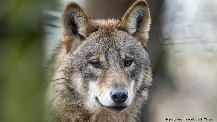Wolf (picture-alliance/dpa/B. Thissen)