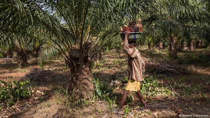 Ein Mann geht durch eine Palmöl-Plantage mit Palmfrüchten in den Händen