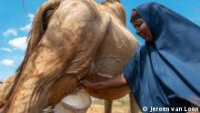 Kenia Camelmilk- Mariam Maalim milking one of her camels.