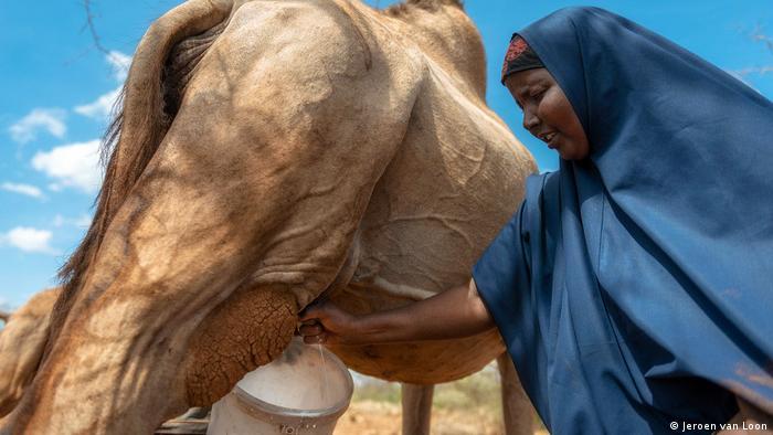 Kenia Camelmilk- Mariam Maalim milking one of her camels.