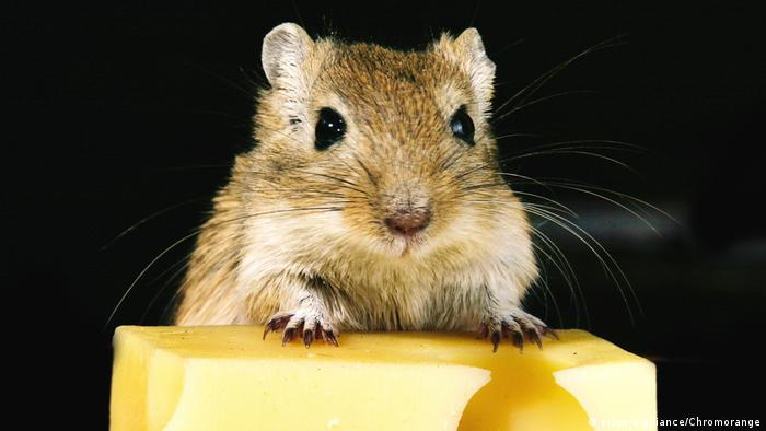 Getting rid of fat: mice without a sense of smell lose