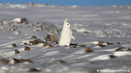 A snowshoe hare stands near Thule Air Base on March 25, 2017 in Pituffik, Greenland. Thule Air Base is the U.S. military's northernmost base located some 750 miles above the Arctic Circle.