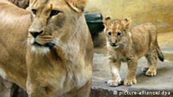 BdT Löwennachwuchs in Rostocker Zoo