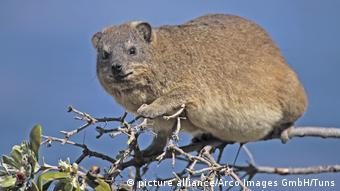 Common Rock Hyrax (picture alliance/Arco Images GmbH/Tuns)