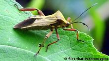 Chagas-Krankheit | Vinchuca