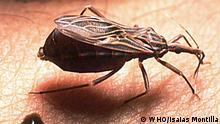 Chagas-Krankheit | Vinchuca bug