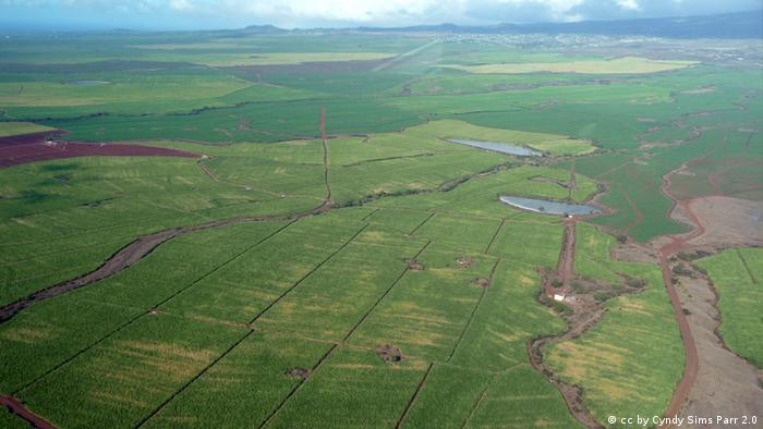 :Sugarcane fields in Maui