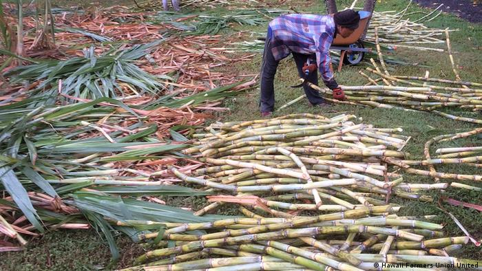 Sugarcane harvesting on a family-scale farm in Maui – Hawaii (Hawaii Farmers Union United)