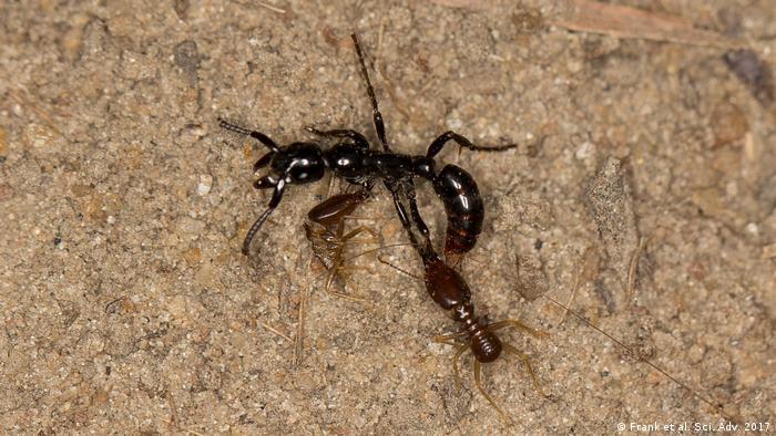 Verletzte Ameise unter Termitenangriff (Frank et al. Sci. Adv. 2017)
