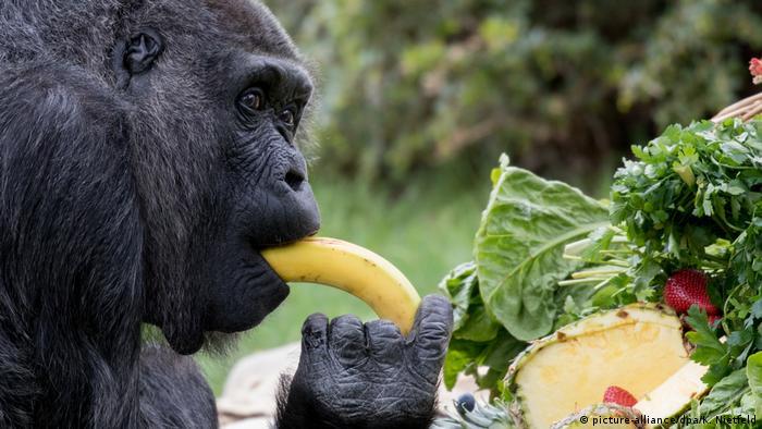 Berlin Europas ältester Gorilla Fatou feiert 60. Geburtstag (picture-alliance/dpa/K. Nietfeld)