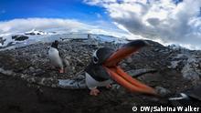 AntarcticBiennale_Pinguin360 Titel: Pinguin 360 Grad Antarktis Beschreibung: Antarctic Biennale 2017 Copyright: DW/Sabrina Walker