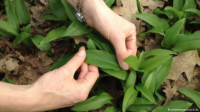 Two hands reaching into a patch of wild garlic (photo: wilderwegesrand.de)