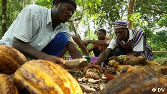 Des producteurs de cacao travaillant dans une exploitation