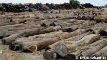 1. Titel: Illegal geschlagenes Holz in Beira, Mosambik 2. Bildbeschreibung: Dieses Holz wurde in Beira, Mosambik, während einer Operação Tronco genannten Kampagne der mosambikanischen Behörden gegen den illegalen Holzeinschlag beschlagnahmt. Die Abholzung hat in den letzten Jahren in Mosambik stark zugenommen, vor allem auch weil Firmen aus China Holzstämme aufkaufen. Die Nachfrage nach Tropenholz aus Mosambik ist so groß, dass hochwertige Bäume in vielen Wäldern selten geworden sind. 3. Fotograf: Arcénio Sebastião (DW/A.Sebastião) 4. Wann wurde das Bild gemacht: 13.04.2017 5. Wo wurde das Bild aufgenommen: Beira, Sofala, Mosambik 6. Schlagwörte: Holz, Mosambik, Beira, Sofala