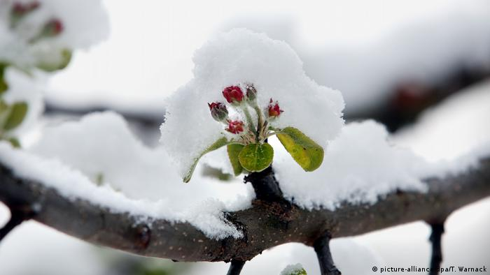 apple tree blossom covered with snow