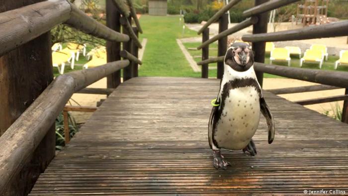 A penguin walks across a wooden footbridge inside the Spreewelten spa