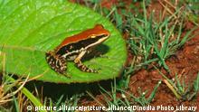 IKA-60012 : Amphibians ; frog Indian fungoid frog rana malabarica | Verwendung weltweit