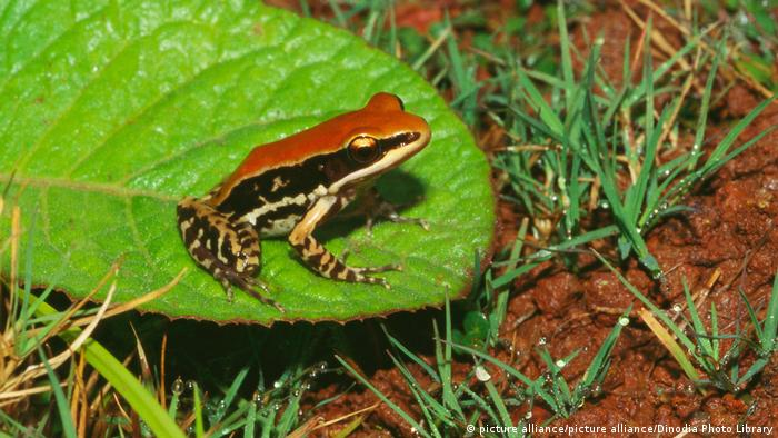Indien Fungoid frog (picture alliance/picture alliance/Dinodia Photo Library)