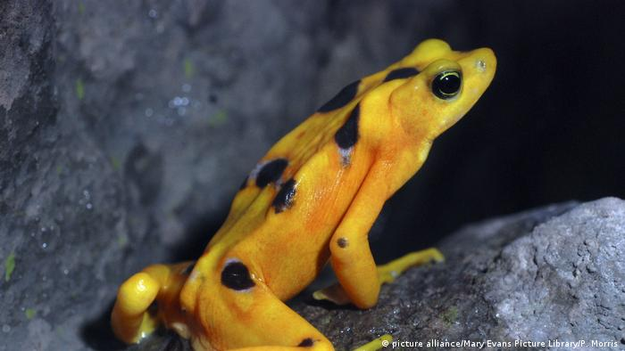 Panamanian Golden Frog (picture alliance/Mary Evans Picture Library/P. Morris )