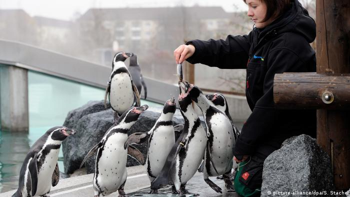 A group of penguins is being fed small fish by a woman