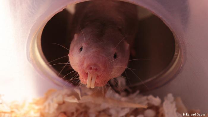Naked mole-rat (Roland Gockel)