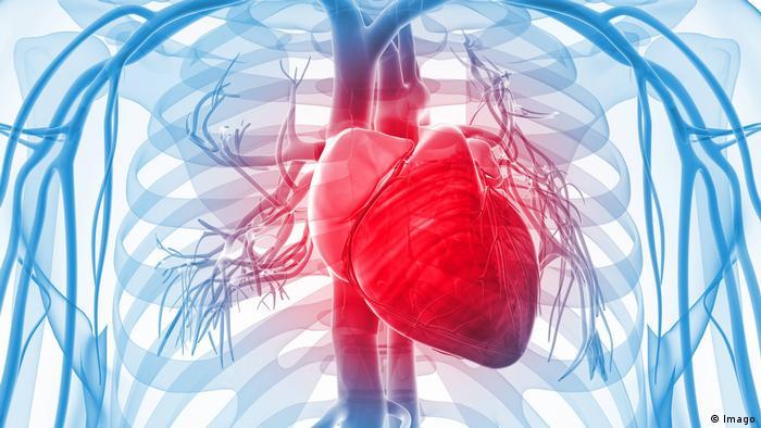Organ Herz menschlicher Körper (Imago)