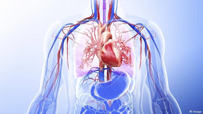 مجسم لعضلة القلب والعضلات الداخلية