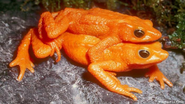 Жаба-ателоп