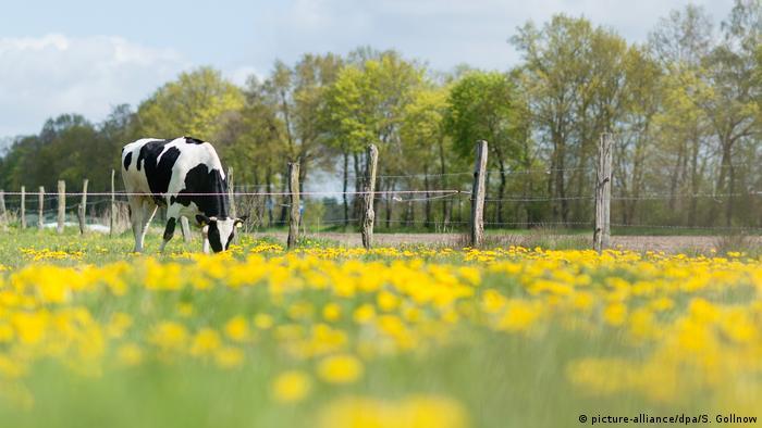Deutschland Kuh auf der Weide (picture-alliance/dpa/S. Gollnow)