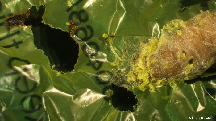 A caterpillar that eats and digests plastic in record time