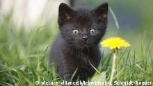 Europaeisch Kurzhaar, Keltisch Kurzhaar (Felis silvestris f. catus), 5 Wochen altes Kaetzchen auf einer Loewenzahnwiese, Deutschland | domestic cat, house cat, European Shorthair (Felis silvestris f. catus), 5 weeks old kitten in a dandelion meadow, Germany | Verwendung weltweit