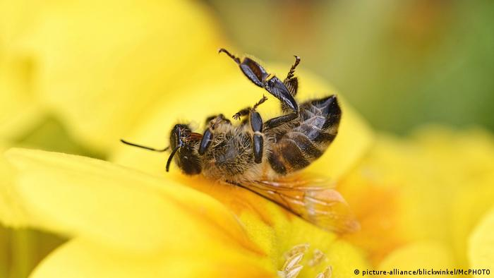 A dead bee on a flower (picture-alliance/blickwinkel/McPHOTO)