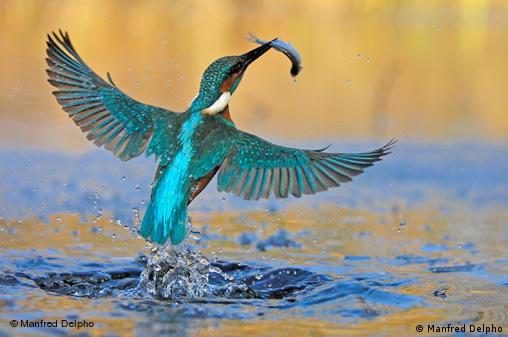 A common kingfisher catches a fish. Foto: Manfred Delpho