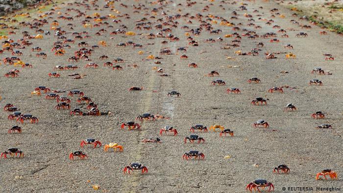 Kuba Alljährliche Massenwanderung der Landkrabben