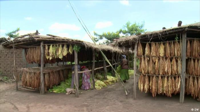 Malawi Tabak (DW)