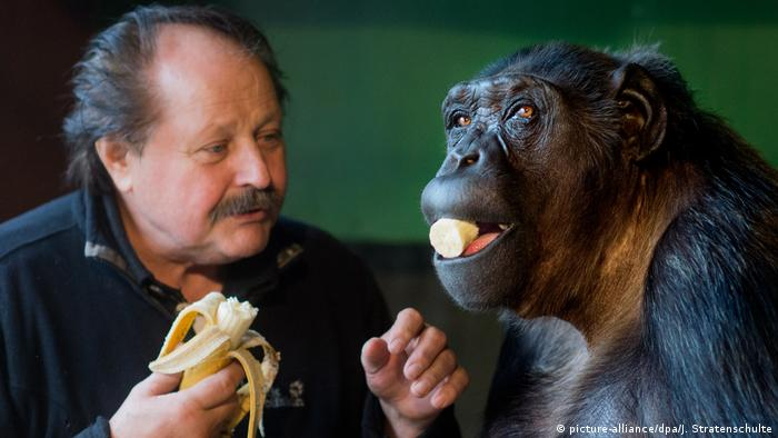 Robby the chimpanzee eating a banana with owner Klaus Köhler