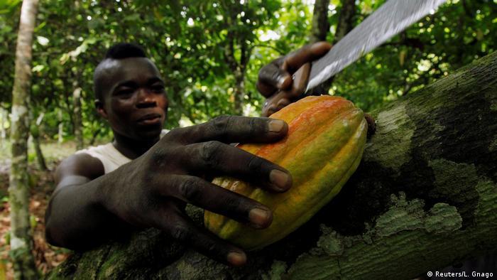 Elfenbeinküste Kakao Anbau Ernte