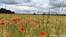 Poppies in a field Northern France (DW/J. Collins)