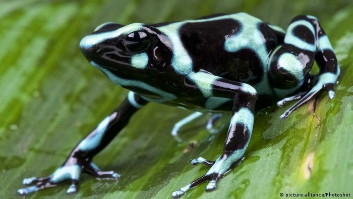 Internationaler Froschtag Dendrobates auratus (picture-alliance/Photoshot)