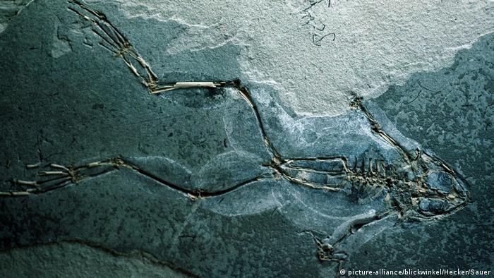 Internationaler Froschtag fósiles Froschskelett (picture-alliance / blickwinkel / Hecker / Sauer)