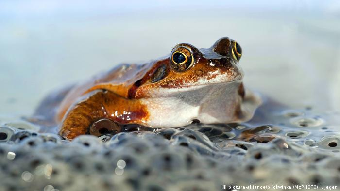 Internationaler Froschtag Grasfrosch (picture-alliance/blickwinkel/McPHOTO/H. Jegen)